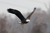 Eagles at Conowingo Dam (MD) :