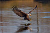 Eagles : Eagles at various locations around Hampton Roads, other than Norfolk Botanical Garden.  Please check the NBG Eagles gallery for photos of those popular raptors.