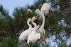 Egret Rookery - Norfolk : This rookery is located on Indian River Road in Norfolk.  This  just a sampling of this large rookery that stretches throughout this neighborhood.  It really is a smelly, dirty and noisy environment for the residents living below these trees.