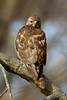 Hawks : A variety of hawks that inhabit Norfolk Botanical Garden.  My identification skills are lacking, but I'll caption the photos when I'm confident in my ID.