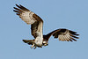 Ospreys : Various osprey nests in Norfolk & Virginia Beach, VA.